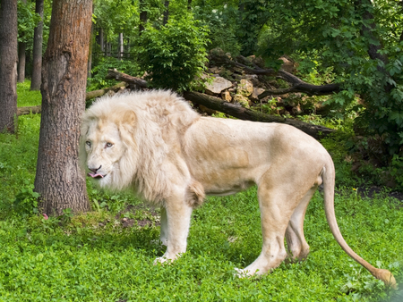 enclosure: White South African lion (Panthera leo krugeri) male in a forest enclosure Stock Photo
