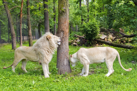 felid: Pair of White South African lions (Panthera leo krugeri) in a forest enclosure