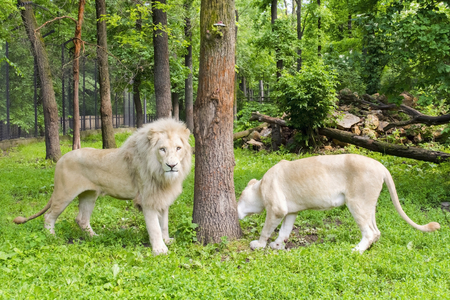 enclosure: Pair of White South African lions (Panthera leo krugeri) in a forest enclosure