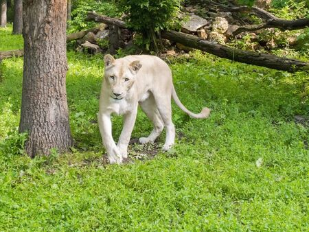 felid: White South African lioness (Panthera leo krugeri) in a forest enclosure