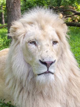 felid: Portrait of a White South African lion (Panthera leo krugeri) male