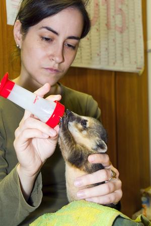 nursing bottle: SZEGED, HUNGARY - MAY 27. 2015 - Feeding a South American coati (Nasua nasua) baby in hand in Szeged Zoo Editorial