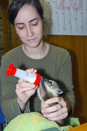 suckle: SZEGED, HUNGARY - MAY 27. 2015 - Feeding a South American coati (Nasua nasua) baby in hand in Szeged Zoo Editorial