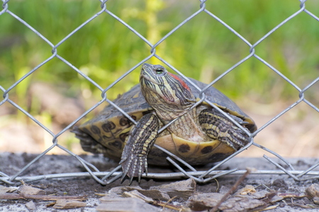 immigrant: A red-eared slider (Trachemys scripta elegans) is trying to cross the border as an immigrant