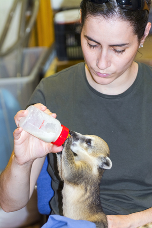 szeged: SZEGED, HUNGARY - JUNE 12. 2015 - Feeding a South American coati (Nasua nasua) baby in hand in Szeged Zoo Editorial