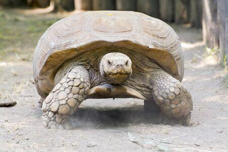 tortuga: Una tortuga estimulada africana gigante (Centrochelys sulcata) Foto de archivo