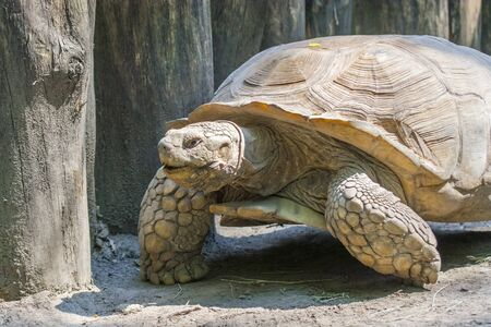 sulcata: A giant African spurred tortoise (Centrochelys sulcata)