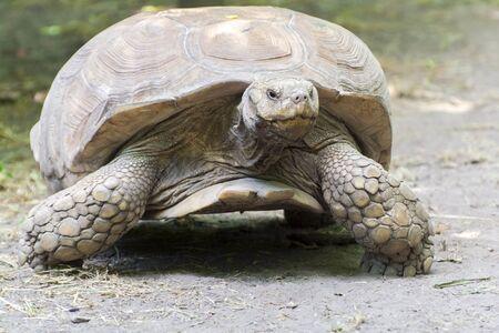 TORTOISE: A giant African spurred tortoise (Centrochelys sulcata)