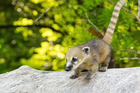 A young South American coati (Nasua nasua) baby on a tree log Stock Photo