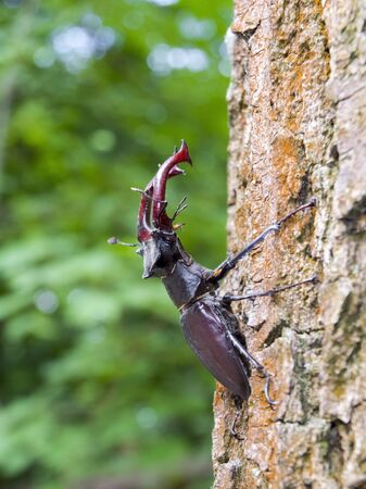 cervus: Giant European stag beetle (Lucanus cervus) on a tree Stock Photo