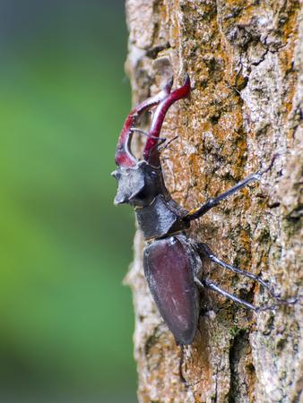 lucanus: Giant European stag beetle (Lucanus cervus) on a tree Stock Photo