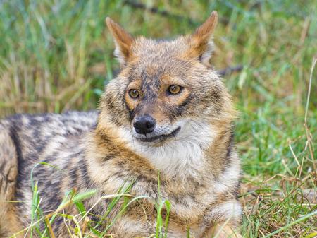 canid: European golden jackal (Canis aureus) in a forest