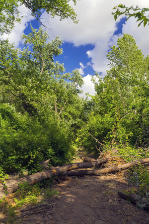 Fallen tree crosses a floodplain forest path near the Maros River Stock Photo