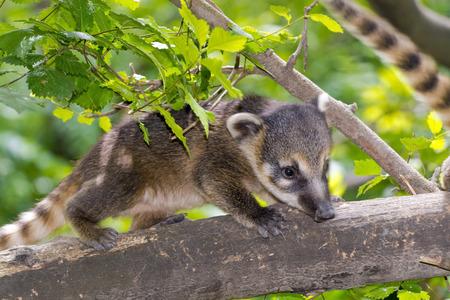 South American coati (Nasua nasua) baby is running on a tree