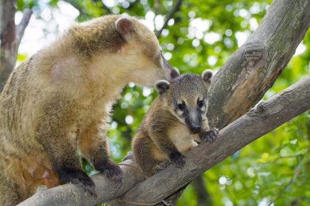 South American coati (Nasua nasua) baby and its mother