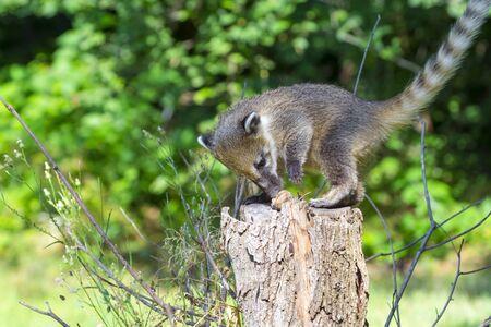 South American coati (Nasua nasua) babies are climbing on a tree Stock Photo