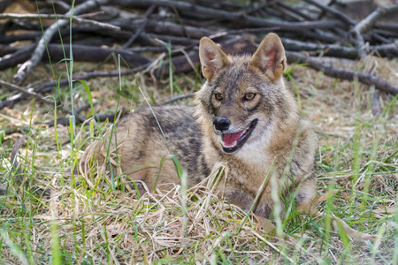 canid: Euroepan golden jackal (Canis aureus) adult in a forest