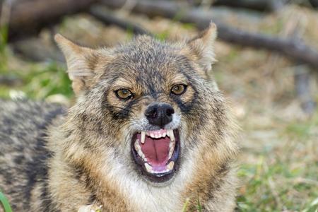 Euroepan golden jackal (Canis aureus) is threatening