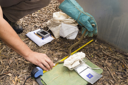 Nails, IRELAND - JUNE 29, 2015 - Measuring and observing the meadow viper Vipera English ursinii rakosiensis Publikacyjne