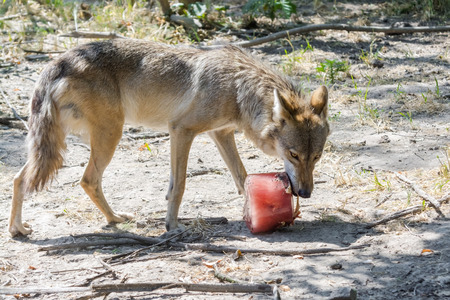 canid: Environmental enrichment for gray wolf (Canis lupus) with bloody ice cream in summer