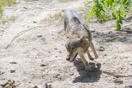 lupus: Running gray wolf (Canis lupus) in a hot summer day