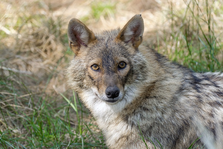 canid: Adult golden jackal (Canis aureus)  in a forest Stock Photo