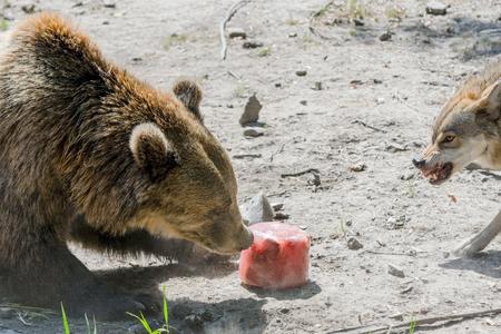 arctos: European brown bear (Ursus arctos arctos) fights for a bloody icecream