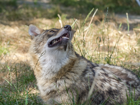 canis: Adult golden jackal (Canis aureus) is looking up Stock Photo