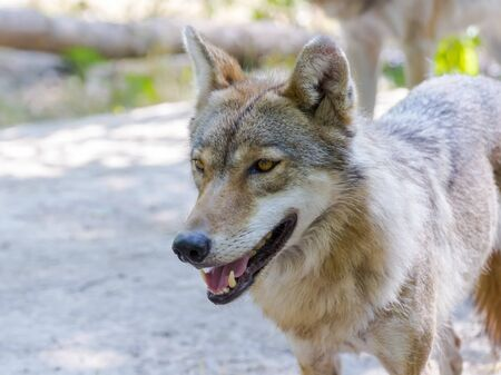 carnivora: European gray wolf (Canis lupus) in a forest in summer