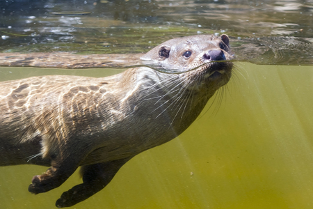 carnivora: European otter (Lutra lutra) is swimming underwater Stock Photo