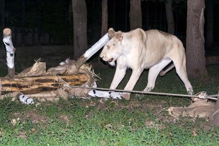 maul: White lion (Panthera leo krugeri) attack and maul a fake zebra at night