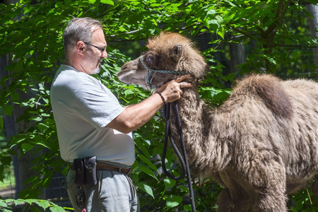 szeged: SZEGED, HUNGARY - JUNE 30. 2015 - a young two-humped camel (Camelus bactrianus) and his zookeeper in Szeged Zoo