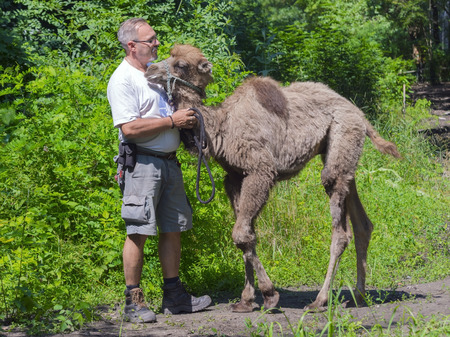 szeged: SZEGED, HUNGARY - JUNE 30. 2015 - training a young two-humped camel (Camelus bactrianus) in Szeged Zoo Editorial