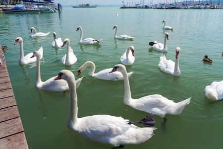 sailer: Mute swans (Cygnus olor) at the Port of Balatonfured