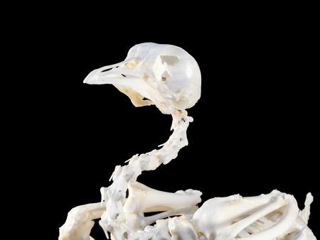 domesticus: Chicken Gallus domesticus sceleton with black background