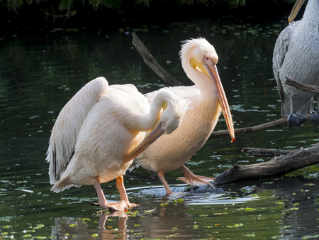 pelecanus: Great white pelicans (Pelecanus onocrotalus) in a pond