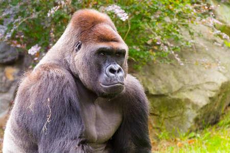 adult male: Western Gorilla (Gorilla gorilla) adult male portrait