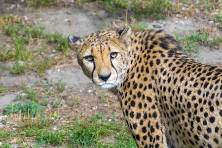 acinonyx: Cheetah or gepard (Acinonyx jubatus) on the field