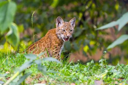 felid: Young Eurasian lynx (Lynx lynx) sitting in the grass Stock Photo