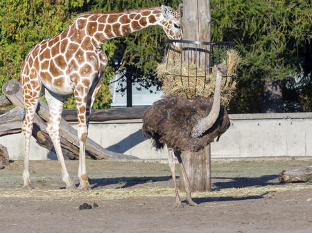 WROCLAW, POLAND - SEPTEMBER 16. 2015 - Reticulated giraffe (Giraffa camelopardalis reticulata) and ostrich (Struthio camelus) in Wroclaw Zoo, Poland Stock fotó