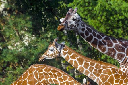 ungulates: Reticulated giraffe (Giraffa camelopardalis reticulata) with green background