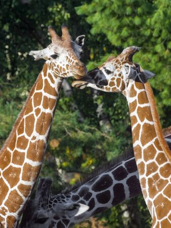 Reticulated giraffe (Giraffa camelopardalis reticulata) with green background