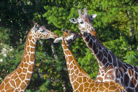 giraffa camelopardalis reticulata: Reticulated giraffe (Giraffa camelopardalis reticulata) with green background