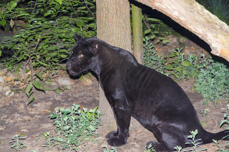 onca: Black jaguar (Panthera onca) is sitting on the ground Stock Photo