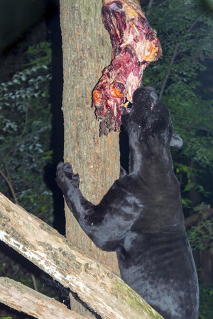 onca: Black jaguar (Panthera onca) is mauling a hanged meat Stock Photo