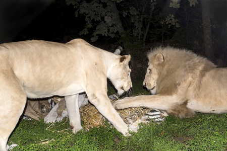 maul: White South African lions (Panthera leo krugeri) attack and maul a fake zebra at night