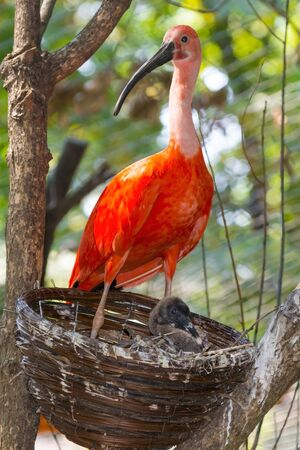 nestling: Scarlet ibis Eudocimus ruber and hen nestling in an artificial nest