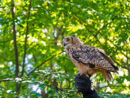 bengalensis: Indian eagle owl (Bubo bubo bengalensis) on hand Stock Photo