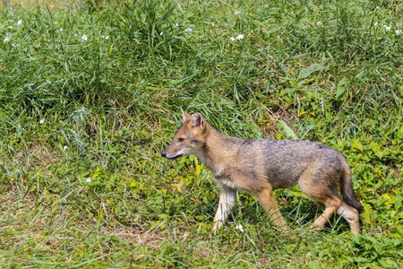 canid: European golden jackal (Canis aureus) puppy in the field