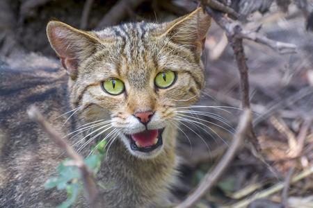 Gato montés europeo (Felis silvestris silvestris) Retrato